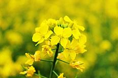 油菜花开特写高清图片