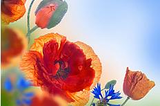 红色罂粟花高清图片素材