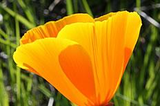 加州黄色罂粟花高清图片