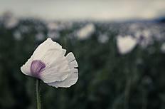 白色罂粟花高清特写图片