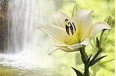 白色野生百合花高清圖片