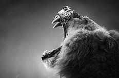 獅子仰天長嘯黑白高清圖片