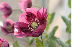 野生罂粟花高清图片