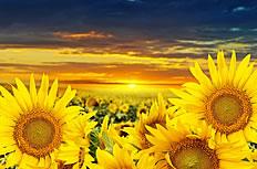夕阳下的向日葵图片