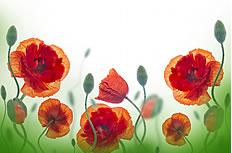 罂粟花图片