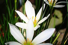 白色水仙花图片