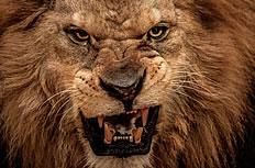 凶猛野生狮子图片