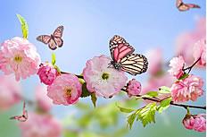 蝴蝶樱花图片