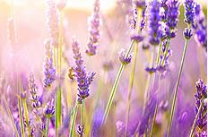 紫色薰衣草非主流图片