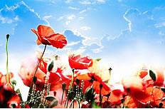 唯美蓝天罂粟花图片