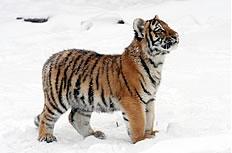 小虎崽图片
