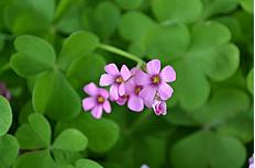 开花的四叶草图片