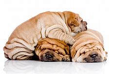 三只睡觉的沙皮狗狗图片