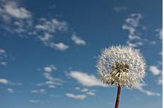 蓝天白云蒲公英图片