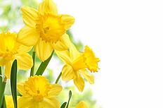 黄色艳丽水仙花图片