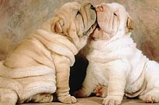 幼时沙皮犬图片