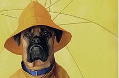 撑着黄色雨伞的狗狗图片