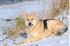 雪橇狗图片