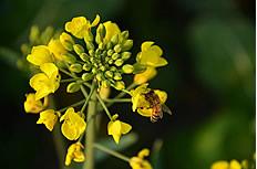 油菜花上的蜜蜂图片