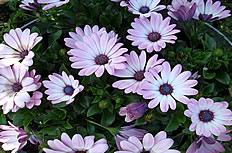 雛菊花圖片