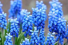 蓝色葡萄风信子图片