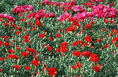 康乃馨花海图片