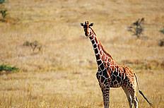 一只长颈鹿图片
