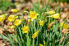 黄色的水仙花图片