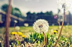 蒲公英植物图片