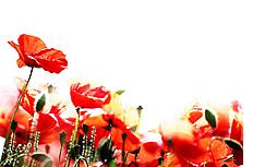 艷麗的罌粟花圖片