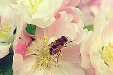 唯美白色海棠花图片