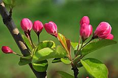 海棠花含苞待放图片