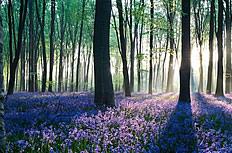 森林中薰衣草花海图片