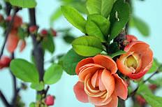 小果海棠花图片
