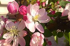 唯美的粉色海棠花图片