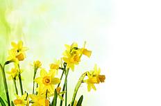 唯美的黄色的水仙花图片