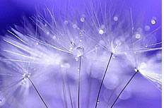 唯美紫色蒲公英图片