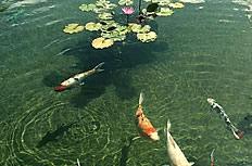 鲤鱼戏莲花图片