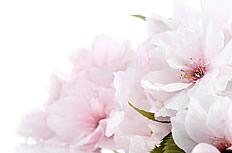 高清樱花图片