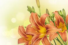 橘色百合花图片