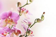 粉红色兰花图片