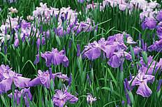紫色兰花花海图片