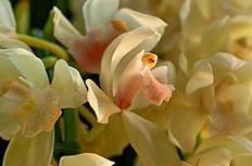 白色兰花图片