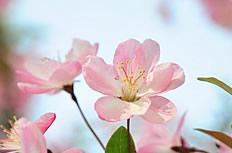 粉色海棠花图片