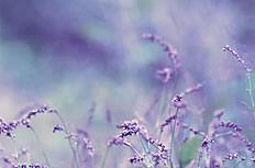 薰衣草背景图片