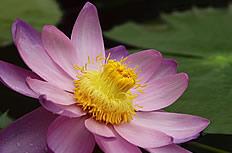 粉红色莲花图片