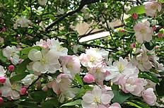 粉色海棠花圖片