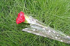 红色康乃馨图片