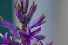 紫色风信子图片