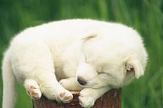 睡眠小狗图片